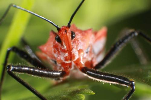 Red assassin bug