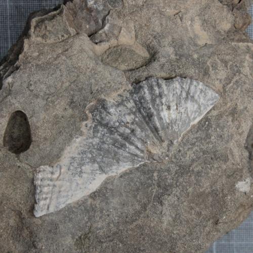 Spiriferid-brachiopod